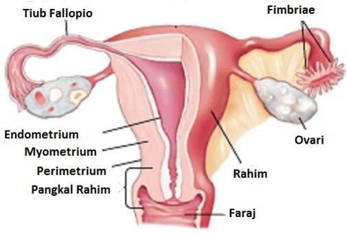 Anatomi Rahim