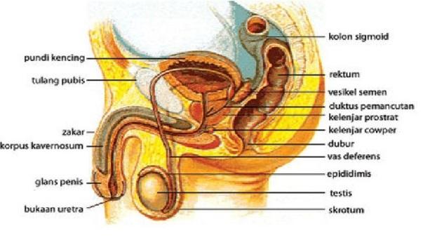 sistem reproduktif lelaki
