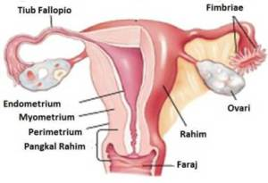reproduktifsystem